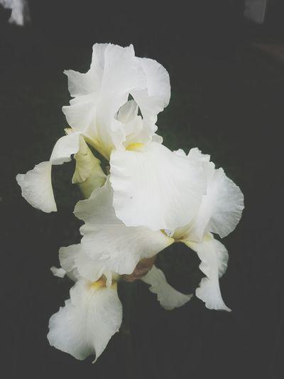 White Irises On Dark Iris Plant White Color Sunlight Flower Head Black Background Flower Petal Close Up Iris Plan White Iris Iris Flowers Beautiful Flowers