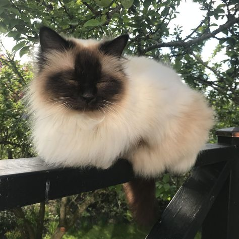 Cute Overload: Internet`s best cute dogs and cute cats are here. Aww pics and adorable animals. I Love Cats, Crazy Cats, Cool Cats, Pretty Cats, Beautiful Cats, Kittens Cutest, Cats And Kittens, Siamese Cats, Fluffy Kittens