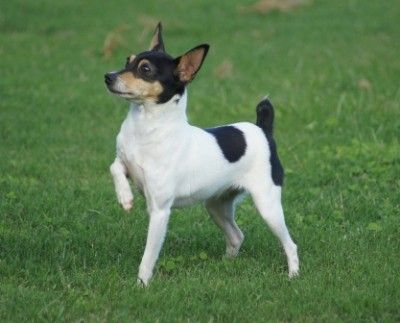 Toy Fox Terrier Dogs - Care and Training | Love Toy Dogs