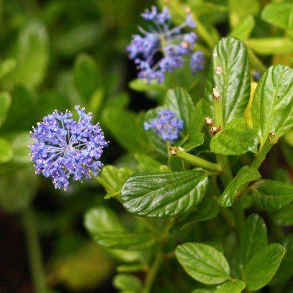 Ceanothus Impressus Victoria Ceanothe Bleu Mauve Vif Eclatant Arbuste Graine Potager Vivaces