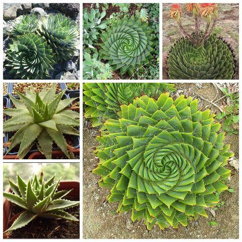 The Spirale 5 Samen Aloe Polyphylla
