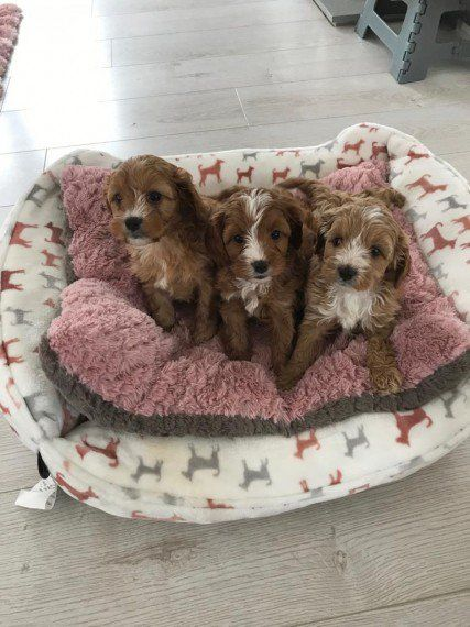 Stunning Ruby Red Cavapoo Puppies Ready Now In Kuwait Cavapoo Puppies Cavapoo Rottweiler Puppies For Sale