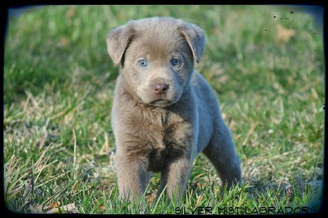 Lab Puppies Silver Mist Labradors Silver Lab Puppy For Sale Silver Labs Ohio Silver Lab Puppies Labrador Retriever Lab Puppies