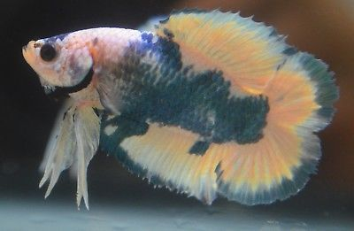 Live Betta Fish Imported Male Awesome Full Moon Doubletail Plakat Male Young Betta Fish Betta Fish Pet