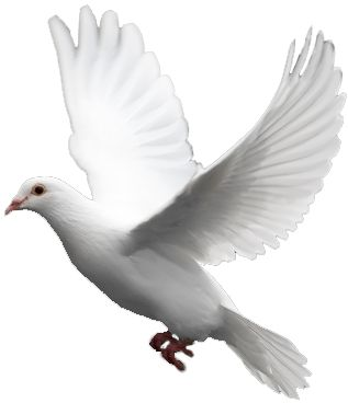 White Flying Pigeon Png Blur Photo Background Background Images