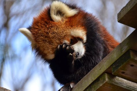 Information about types of pandas that exist in the world. Not only that, you can find fun facts about giant pandas and red pandas too. Red Panda Cute, Panda Love, Cute Little Animals, Cute Funny Animals, My Spirit Animal, My Animal, Types Of Pandas, Tier Fotos, Cute Creatures