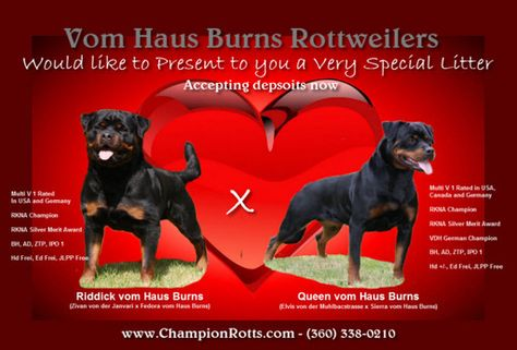 Litter Of 9 Rottweiler Puppies For Sale In Olympia Wa Adn 43749