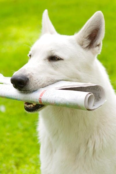 How To Train Your Dog To Bring You The Newspaper Training Your