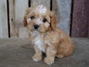 Cavapoo Cavapoo Puppies Cavachon Puppies Cute Animals