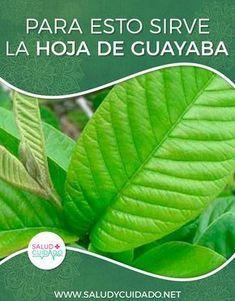 te de hojas de guayaba sus beneficios