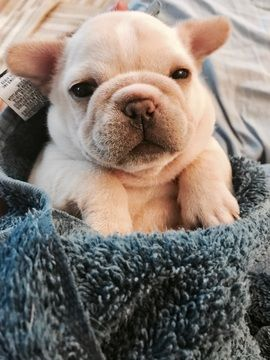 Litter Of 5 French Bulldog Puppies For Sale In Cambridge Il Usa