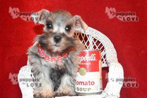 Puppiesforlove Com Teacup Toy Schnauzer Puppies Puppies Schnauzer Puppy Toy Schnauzer