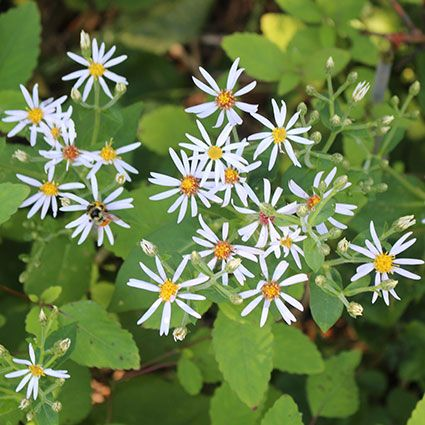 The Beauty And Pollinator Benefits Of Asters And Goldenrods Wild Seed Pollination Plants