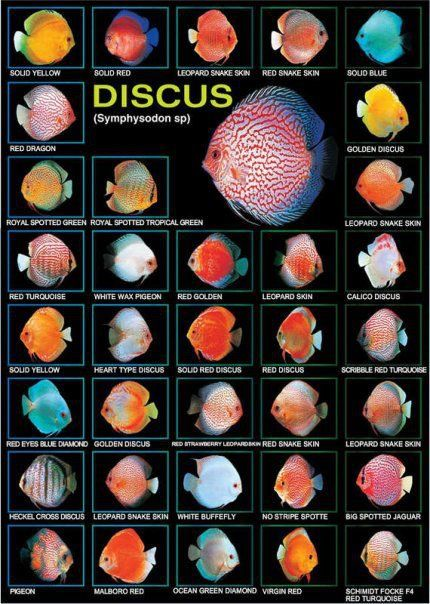 Types of Discus Fish   Email This BlogThis! Share to Twitter Share to Facebook