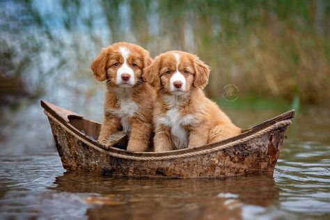 Puppy sailors by Kerstin Benz / Tiny Puppies, Cute Dogs And Puppies, Pet Dogs, Dog Cat, Labrador Puppies, Corgi Puppies, Doggies, Nova Scotia Dog, Nova Scotia Duck Tolling Retriever