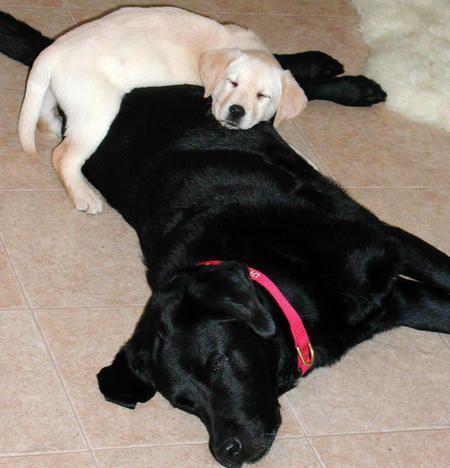 Fiona And Kieran Labrador Retriever Labrador Yellow Labrador Retriever