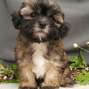 Shihpoo Puppy Sale Female Apricot Two Images Shih Poo Puppies