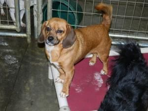 Adopt Tangie Puggle Dachshund On Adoptable Dachshund Dog