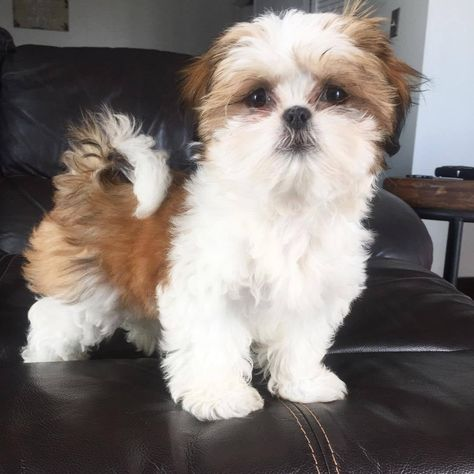 Available Puppies - Elian Shih Tzu Puppies For Sale