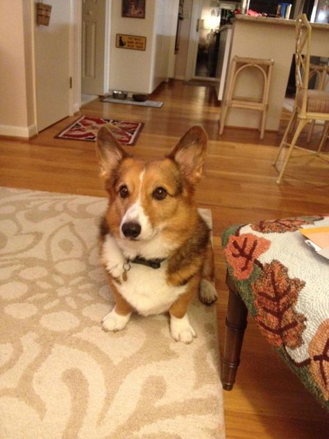 Sable Corgi Ty And I Think Booker Might Grow Up To Look Like
