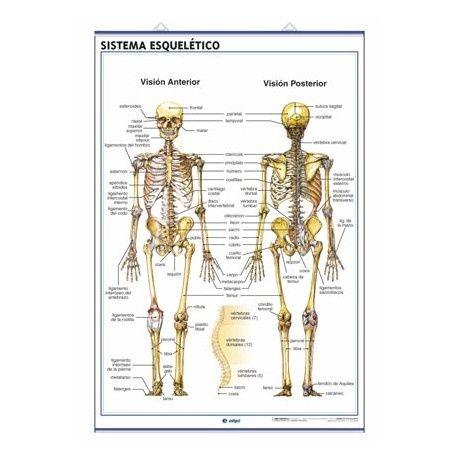 Skeletal El Sistema Esqueletico | Body Organs