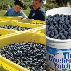 Bins of fresh blueberries just picked at The Blueberry Patch near Mansfield.