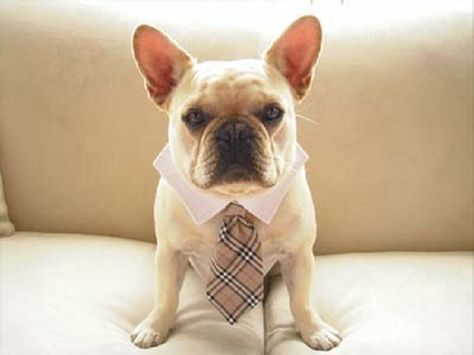 French Bulldog In A Burberry Tie So Handsome French