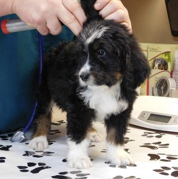 Bernese Mountain Dog Bernese Mountain Poo Mix Puppy For Sale
