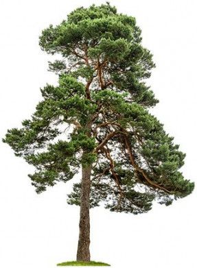 42 Ideas For Pine Tree Plan Png In 2020 Tree Plan Png Tree Plan Birth Flowers