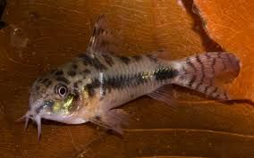 Pin On 10 Awesome Cory Catfish Types For Your Fish Tank