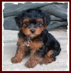 Yorkipoo Yorkie Poodle Yorkiepoo Puppies For Sale Iowa Yorkie Dogs For Sale Yorkie Poodle Yorkie Poo