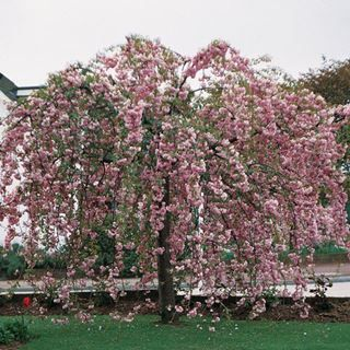 Prunus Serrulata Kiku Shidare Zakura Of De Japanse Treurkers Is Een Kleine Prunus Soort Die In Onze Regio Tot 6 M Hoog En Bloemenboom Bomentuin Japanse Tuin