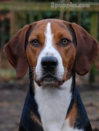 Hamilton Hound Hound Dog Breeds Dog Breeds The Fox The Hound