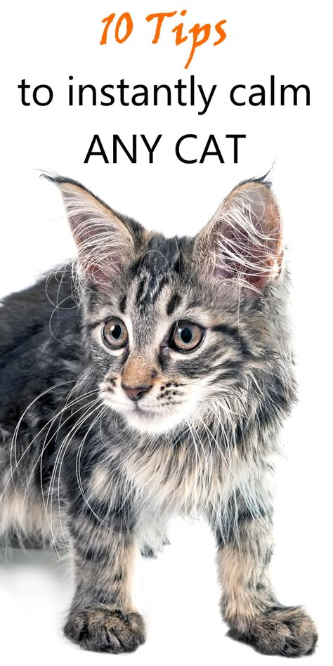 There are a few techniques, which aren't rocket-science but will enable you to calm almost any cat, in almost any situation. It doesn't matter what… Cat Care Tips, Pet Care, Pet Tips, Cute Cats And Kittens, Cool Cats, Orange Kittens, Calming Cat, Cat Hacks, Cat Info