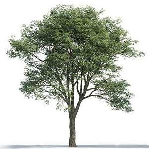 Tree 3d Model 5 17 01 Tree Photoshop Tree Psd Tree Render