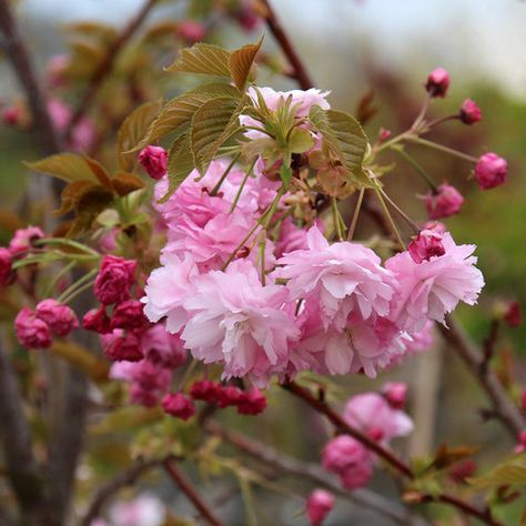 Prunus Pink Perfection Flowers Flowering Cherry Tree Prunus Flowers