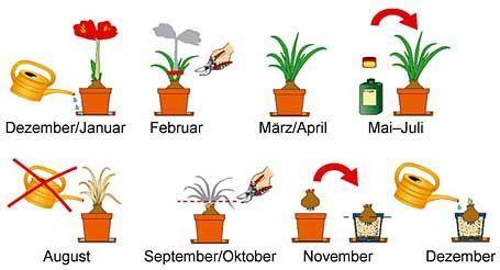 Amaryllis Prachtvolle Zwiebelblumen Amaryllisdeko Amaryllis Pflegetipps Rund Ums Jahr Mein Schoner Garten In 2020 Amaryllis Container Flowers Onion Flower