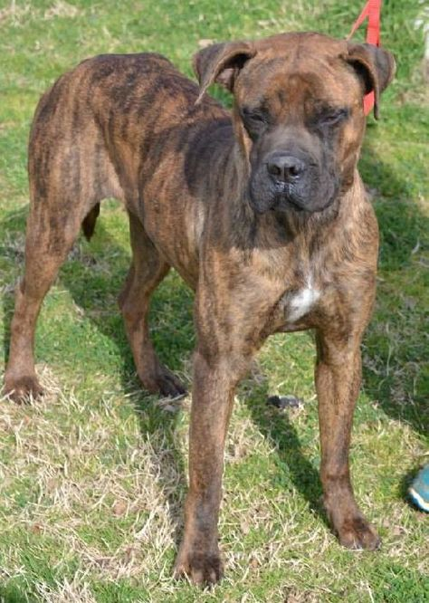 Cleopatra Is An Adoptable Boxer Mastiff Mix At The Bryan Animal