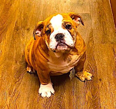 English Bulldog Puppy For Sale In Georgetown Tx Adn 61873 On