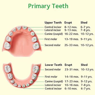 primary teeth tooth development and identification charts charts - baby teeth chart
