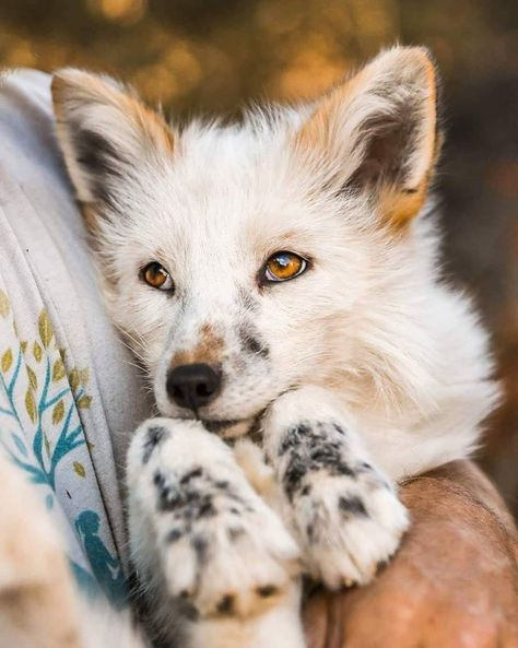The fox - one of the most amazing animals there is! Submit pictures, questions, or anything related to foxes. For the species in the genus. Cute Puppies, Cute Dogs, Dogs And Puppies, Doggies, Cute Little Animals, Cute Funny Animals, Mundo Animal, My Animal, Beautiful Creatures