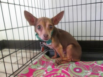 Senior Petango Com Meet Jackie O A 10 Years 1 Month Chihuahua