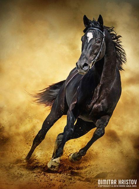 Black Horse – Running Wild photography photomanipulation featured equine photography animals  Photo
