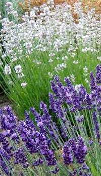 How To Successfully Grown Lavender Plants