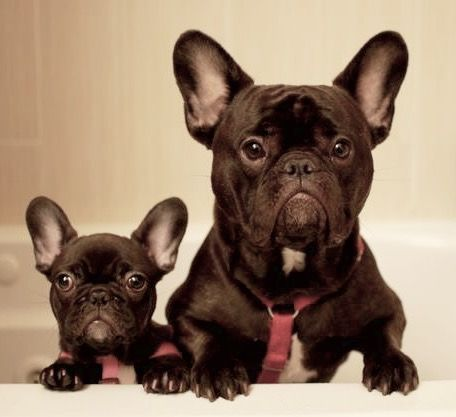 Zoe And Simon French Bulldogs At Bath Time They Are Quite