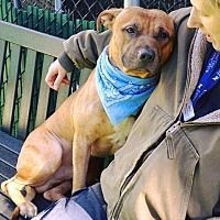 9 12 18 New York Ny Pit Bull Terrier Meet Papa A Dog For
