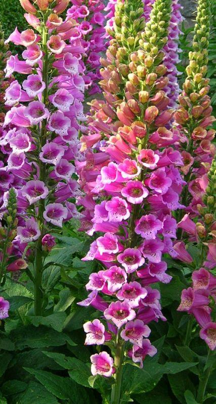 digitalis purpurea candy mountain foxglove logs plants and flower