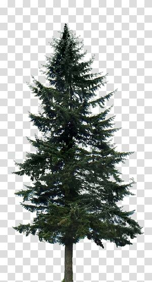 Pine Tree Fir Trees Transparent Background Png Clipart Tree Photoshop Tree Watercolor Tree