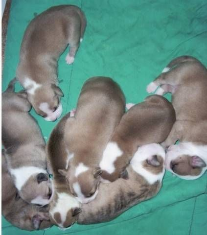 Pitbull Puppies For Sale 1500 With Papers In Washington State