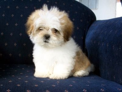 Maltese Shih Tzu Bailey Boo Is That What You Looked Like When